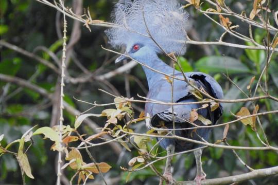 37 burung endemik Papua dilepas ke alam liar