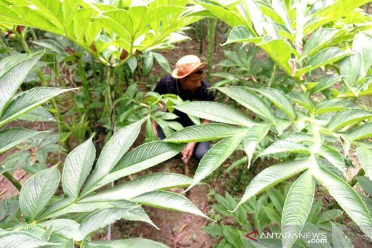 Unsri Palembang kembangkan budi daya porang sebagai tanaman sela
