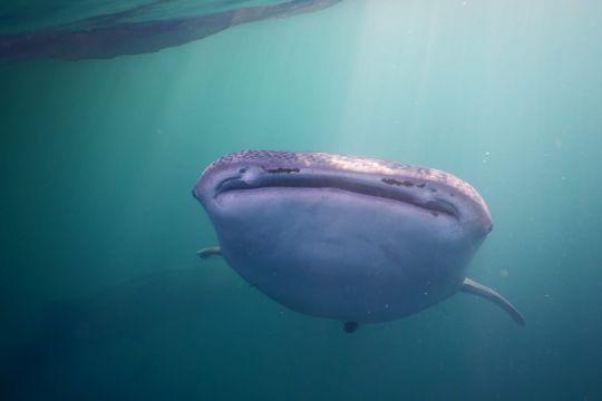 KKP tandai kemunculan hiu paus di perairan Kaimana Papua Barat