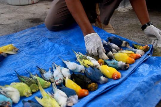 Cegah flu burung, BKP Ternate musnahkan 77 ekor unggas