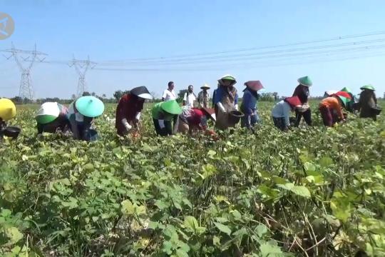 Kacang hijau dongkrak pertanian di Rungkang Brebes
