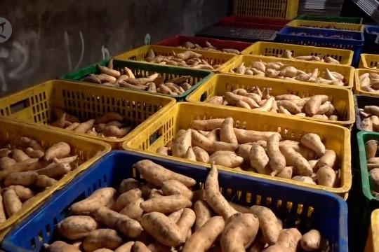 Jabar ekspor 10 ton umbi Cilembu ke Singapura