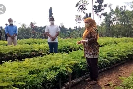 Pandeglang jadikan Desa Suka Mulya pusat pembibitan sengon