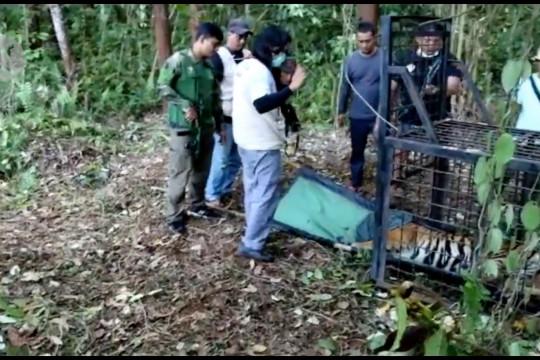 Tim gabungan evakuasi harimau Sumatera dari ancaman konflik