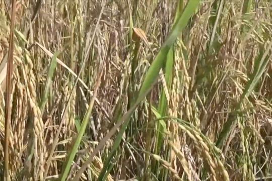 Pertanian Banyuwangi selama pandemi tumbuh 1,75 persen