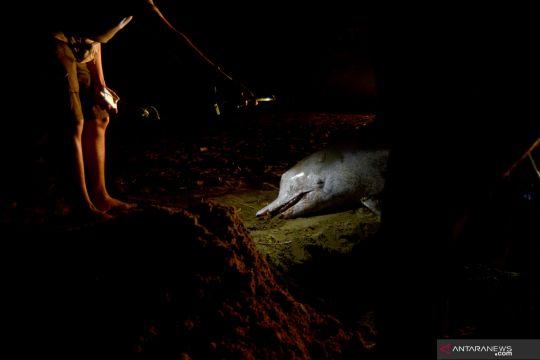 Lumba-lumba mati terdampar di Pantai Pasir Jambak Padang