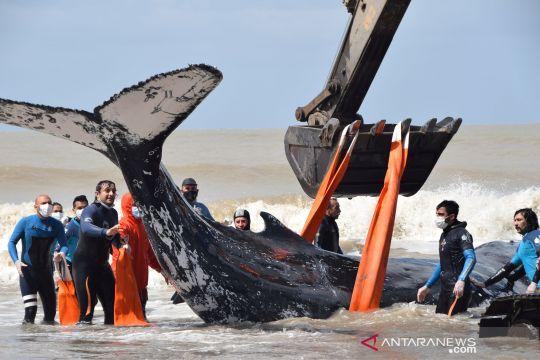 Upaya penyelamatan paus terdampar di Argentina