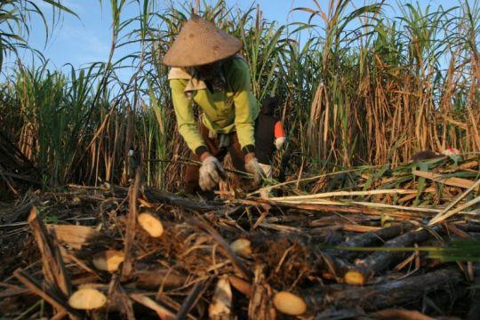 Anak usaha PT RNI berkomitmen jaga kemitraan dengan petani tebu