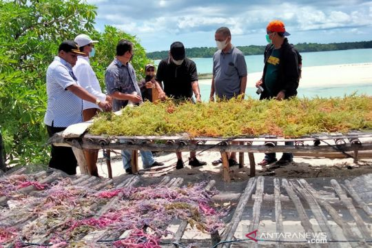 """Kemenko targetkan """"seaweed estate"""" di Maluku Tenggara beroperasi 2022"""