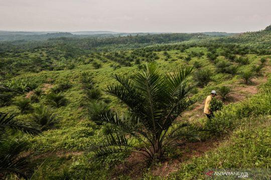 Target peremajaan sawit di Indonesia