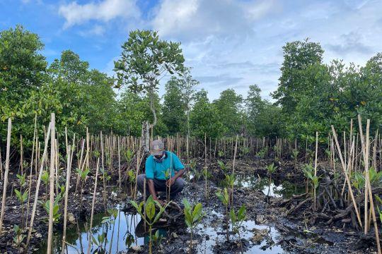 BRGM: Rehabilitasi mangrove Program PEN tingkatkan ekonomi masyarakat
