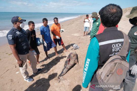 Bangkai lumba-lumba pemintal yang terdampar di Kupang dikuburkan