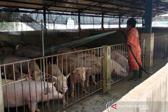 Ekspor babi Pulau Bulan ke Singapura capai 1.000 ekor per hari