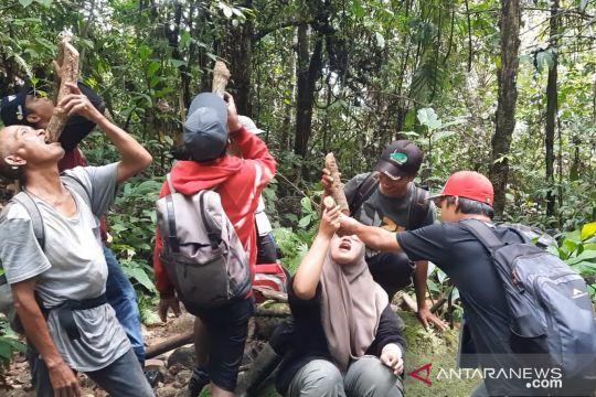 Selain di Kalimantan, akar bajakah juga tumbuh di Bonjol Pasaman