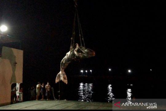 Seekor paus terdampar dan mati di pantai Pulau Sumba NTT
