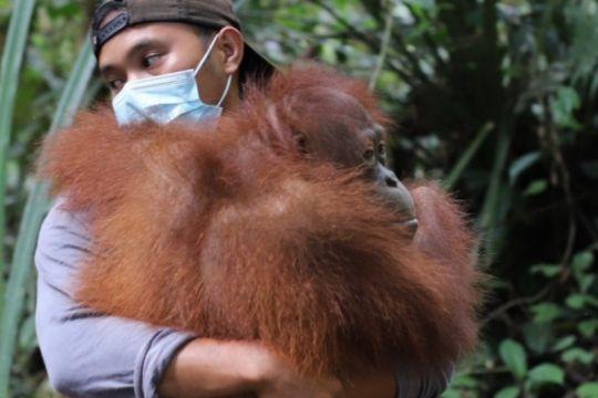 Tiga ekor orangutan dilepasliarkan di hutan Kapuas Hulu Kalbar