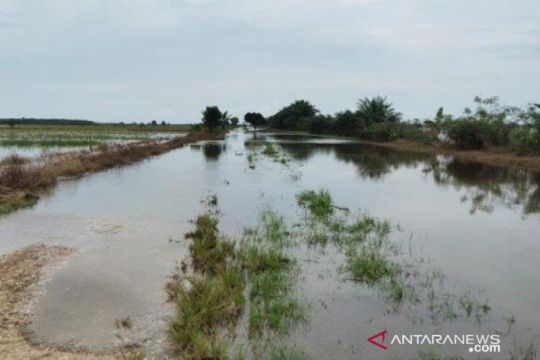 600 hektare lahan pertanian Babulu Kabupaten Penajam terendam banjir