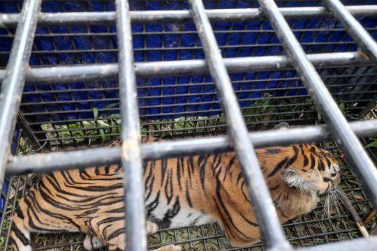 Kemarin, rehabilitasi harimau hingga kerugian gempa Bali