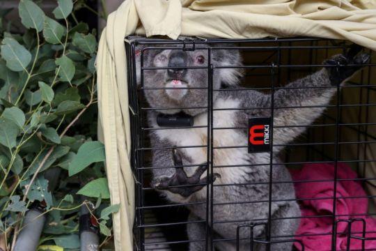 Ratusan koala Australia akan divaksin klamidia