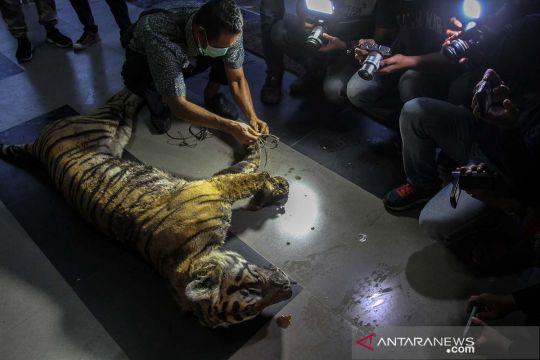 Harimau Sumatera mati terjerat di Riau