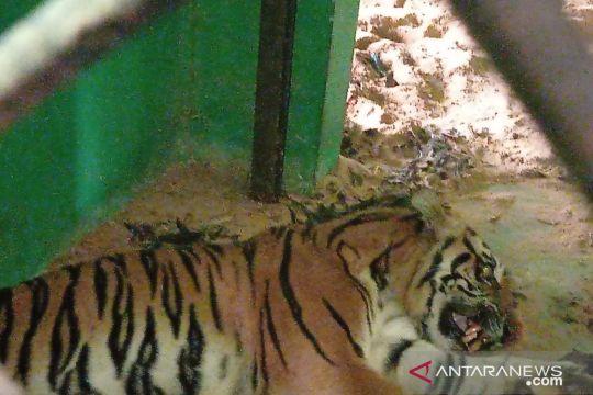 BKSDA Jambi rehabilitasi Harimau Sumatera yang  masuk perangkap