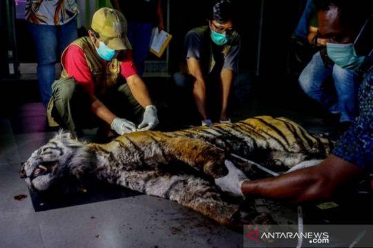 BBKSDA: Harimau mati di Bengkalis-Riau akibat luka dan depresi
