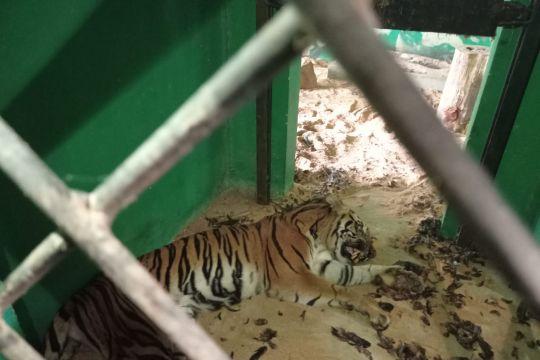 BKSDA Jambi memulihkan kesehatan harimau masuk perangkap di Merangin