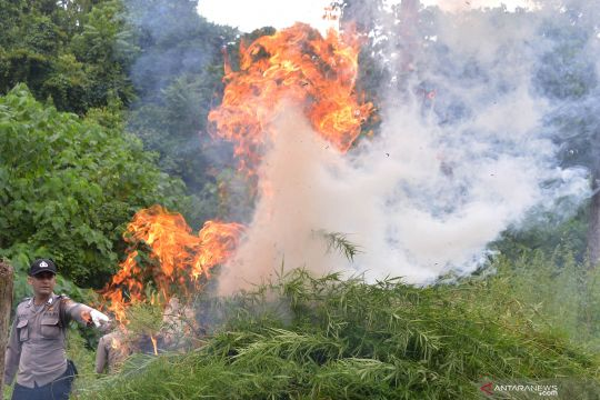 Pemusnahan ganja di pegunungan Seulawah