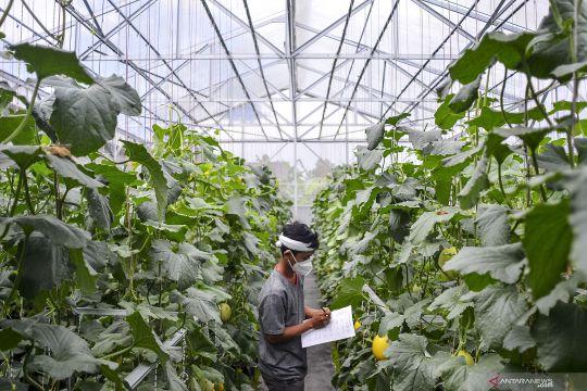 Budi daya melon petani milenial
