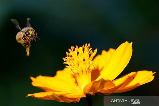 Perubahan iklim, peternak lebah Prancis perkirakan panen madu terburuk