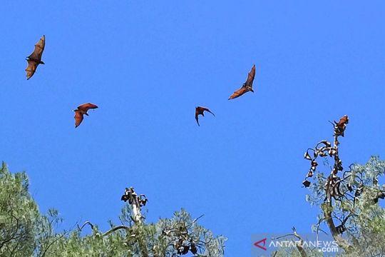 Warga Malaumkarta Raya ikut menjaga kelestarian kelelawar di Pulau Um
