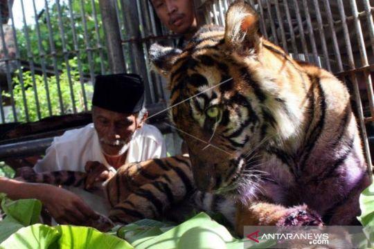 Harimau sumatra dilaporkan kembali masuk kebun warga di Aceh