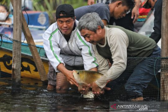 BKSDA Kalbar lepas ikan Arwana di Danau Sentarum