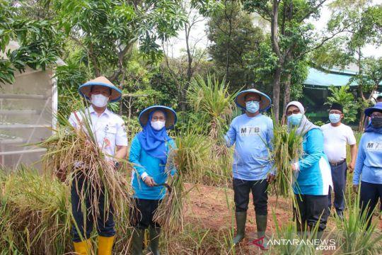 Menengok panen padi ala Walkot Farm Jakarta Utara