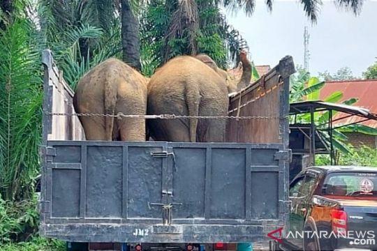 BKSDA Sumsel kirim tiga gajah betina ke Jambi