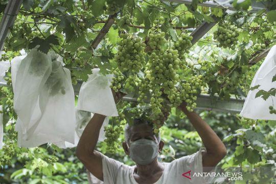 Mengubah gang jadi kebun anggur di Munjul Jaktim
