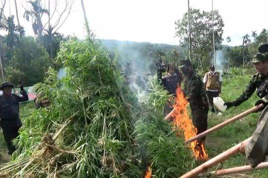 BNN RI musnahkan 5.000 batang pohon ganja