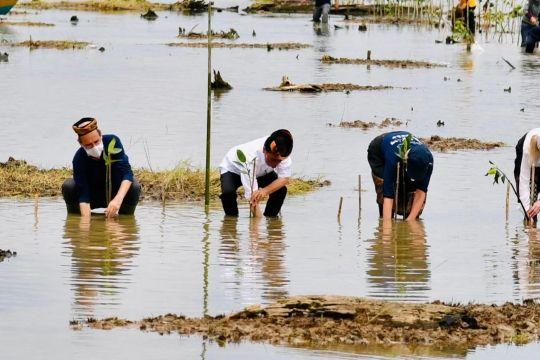 Jokowi tanam mangrove di Desa Bebatu