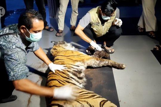BBKSDA Riau temukan lagi harimau mati terjerat