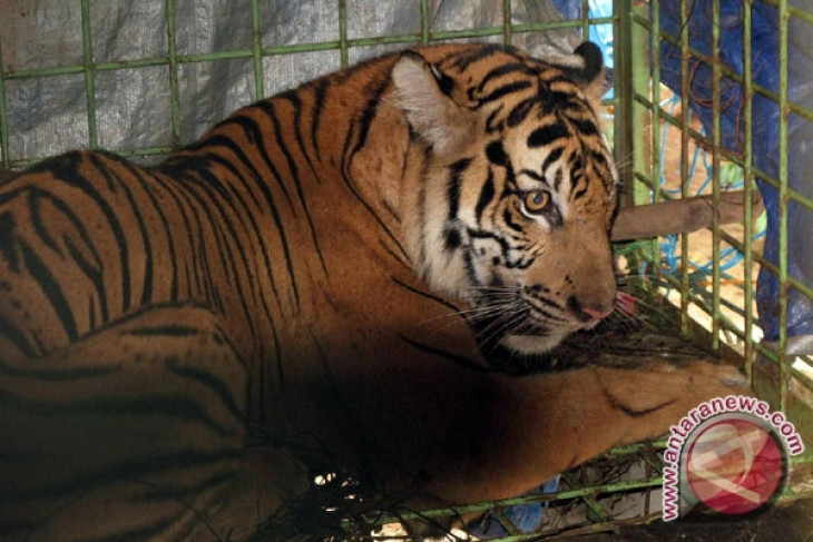 Harimau Terperangkap Jerat Rusa