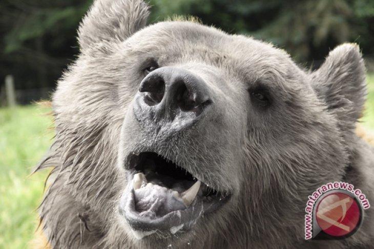Beruang datang,  buruh berlarian