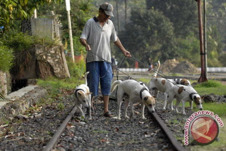 Ribuan Anjing Buru Babi Di Dumai