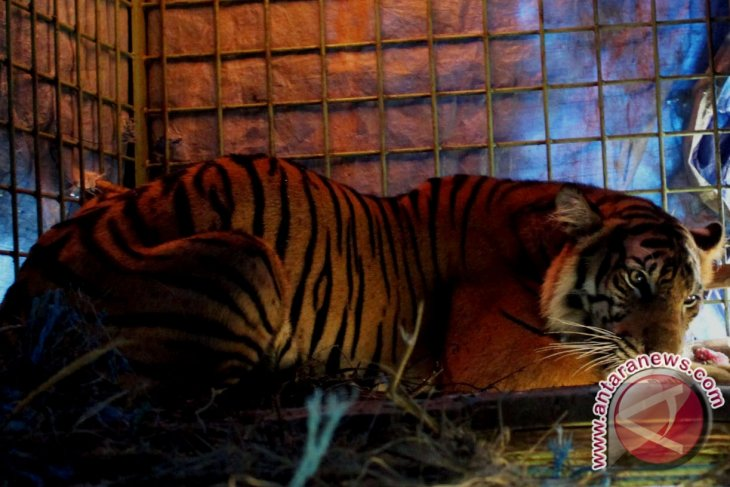 Warga Jambi tewas diterkam harimau