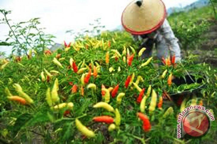 Musim hujan petani cabai Bengkulu percepat panen