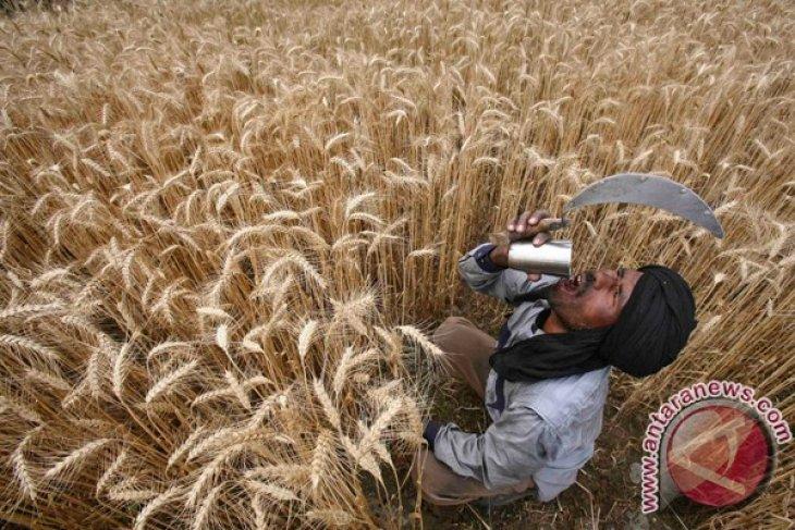 Konsumsi gandum bantu kurangi risiko kematian dini