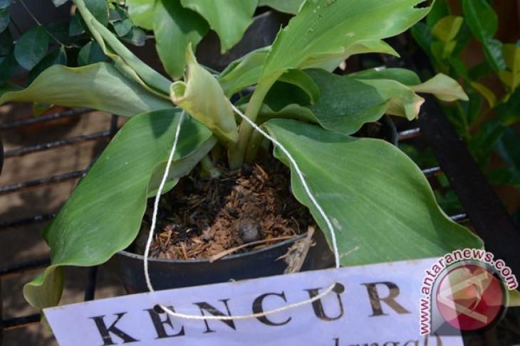 Petani Lampung tengah galakkan tanaman kencur