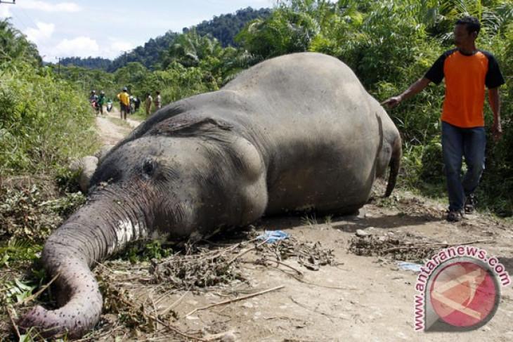Sumatran elephant dies at Riau conservation park