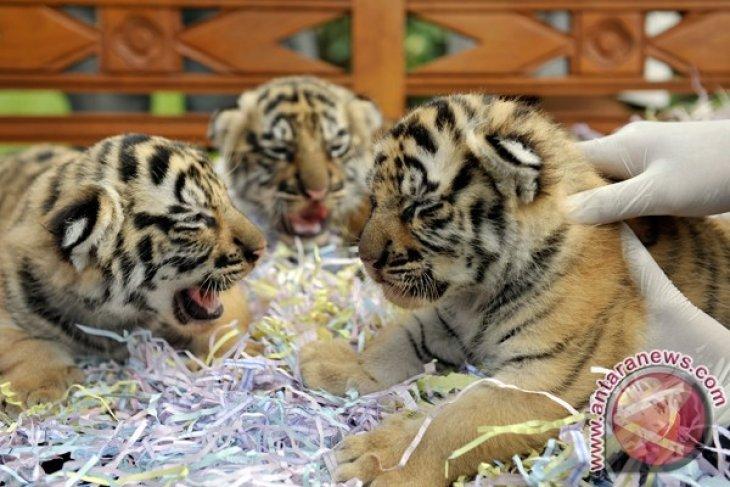 Kelahiran Harimau Benggala