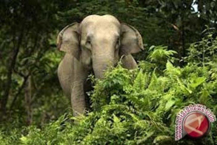 Gajah Sumatera di Jambi tersisa 40 ekor