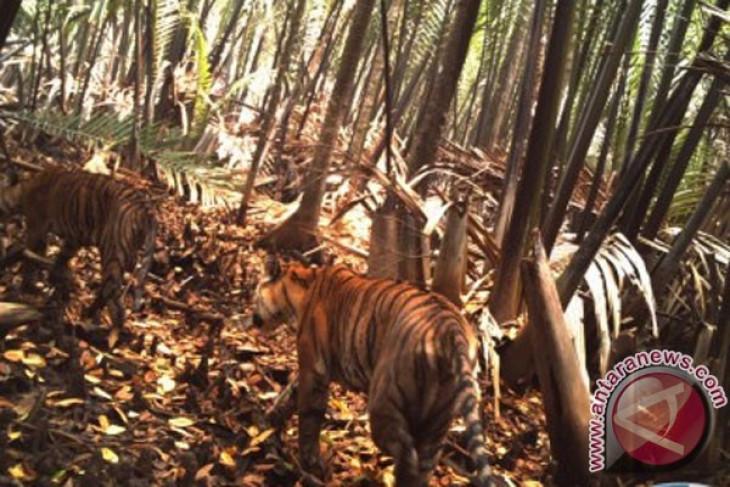 Geger harimau masuk kampung di Jambi